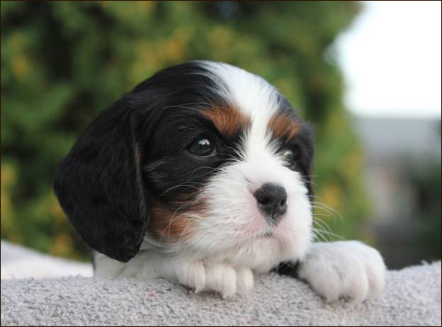 Cresthaven Cavaliers - Breeder of Cavalier King Charles